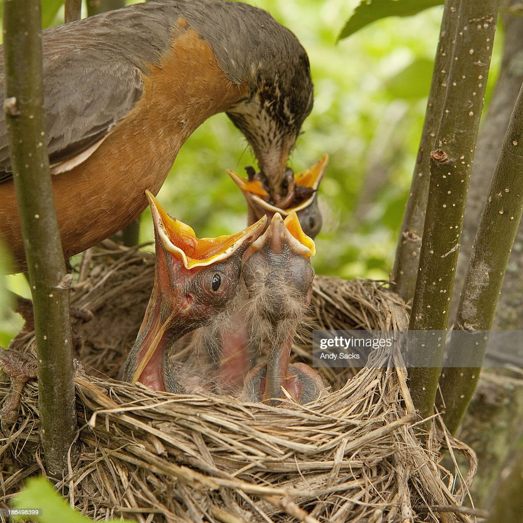 Mother robin feeds babies in nest