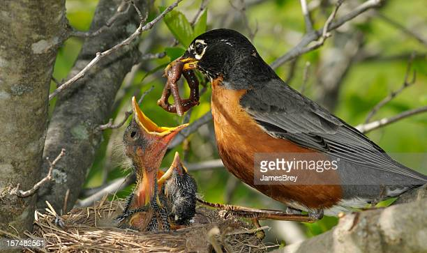 Mother Robin Feeds Worm to Her Hungry Babies