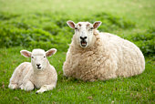 Mother sheep with baby