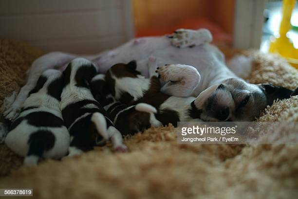 Mother Shih Tzu Feeding Puppies On Rug