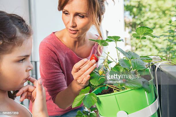 Mother showing her daugher a ripe strawberry on balcony