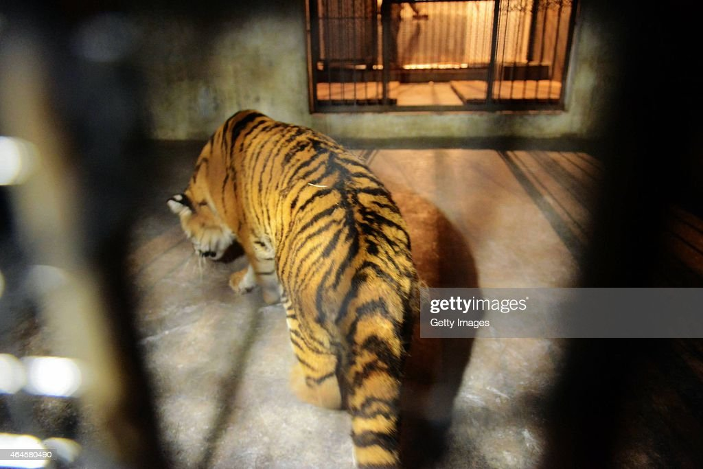 A mother Siberian Tiger rests at Qingdao Forest Wildlife World on February 26 2015 in Qingdao Shandong province of China A Siberian Tiger cub fell to...