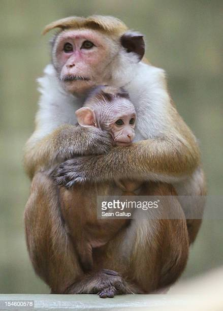 A mother toque macaque which is a kind of monkey from Ceylon holds her male baby at Zoo Berlin on October 23 2012 in Berlin Germany The baby monkey...
