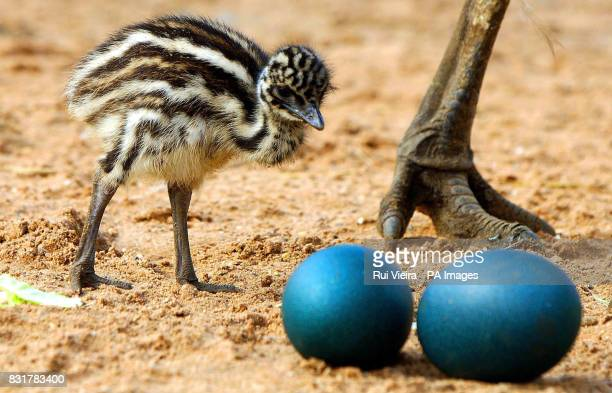 Mother Vera looks over one of her three newborn emu chicks at Drayton Manor Theme Park in Tamworth