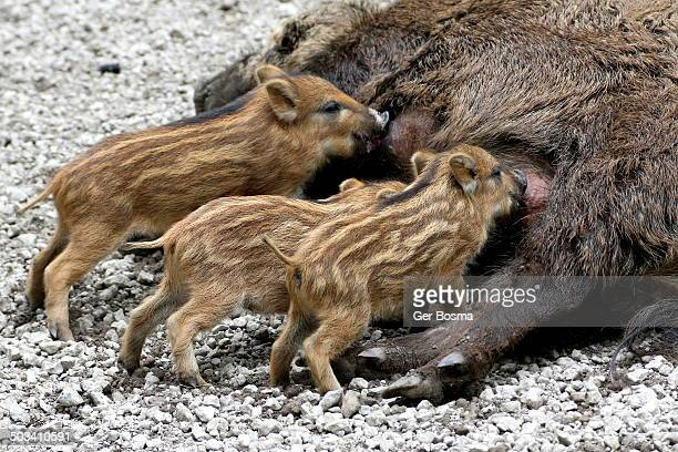 Mother Wild Boar Suckling Her Young