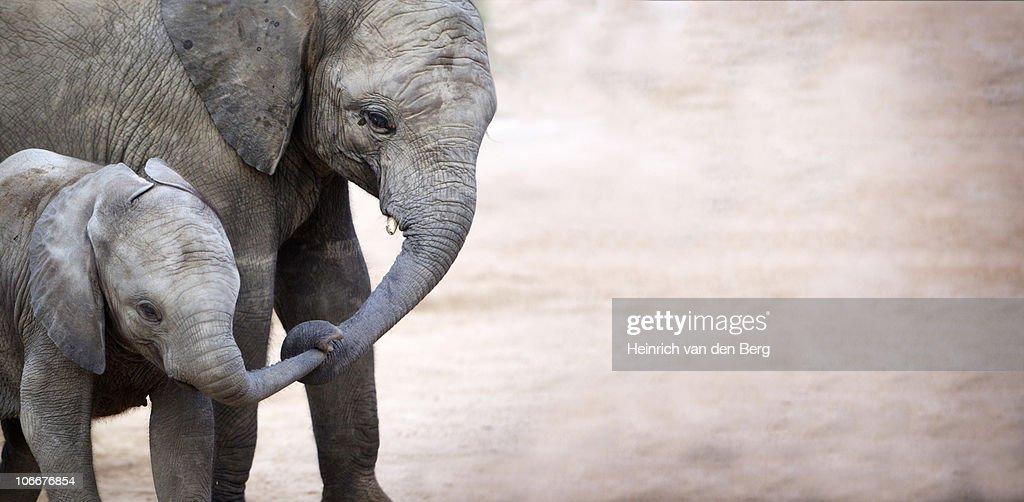 Mother with baby elephant (Loxodonta africana), Kruger National Park, Mpumalanga Province, South Africa : Stock Photo