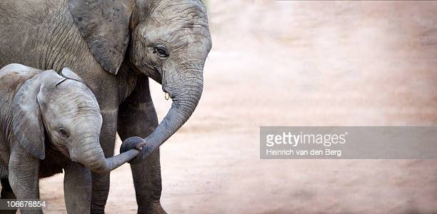 Mother with baby elephant (Loxodonta africana), Kruger National Park, Mpumalanga Province, South Africa