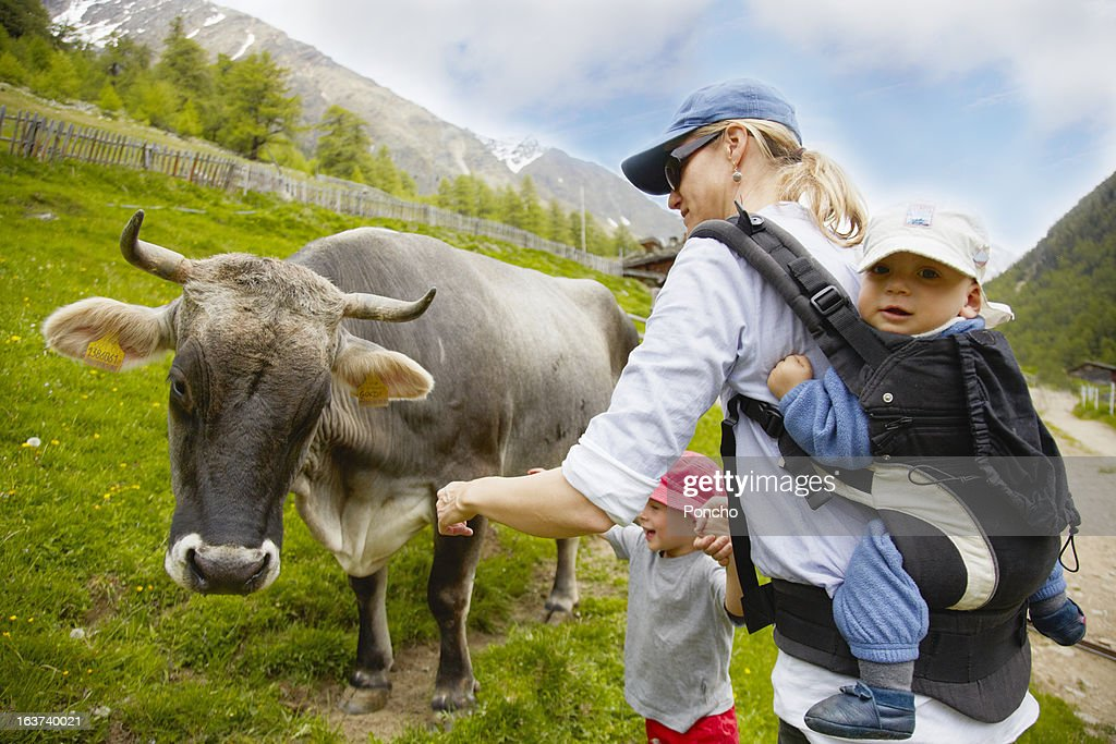 Mother with baby on the back feeding a cow : Stock Photo