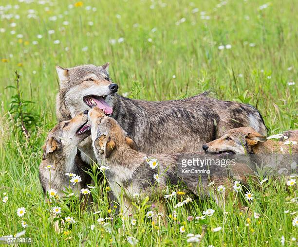 Mother wolf with three cubs on grassy meadow