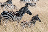 Mother Zebra with Baby - Kenya