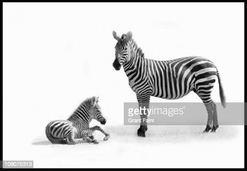 Mother Zebra with fold. : Stock Photo