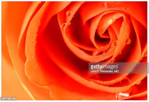 Mother's day orange rose