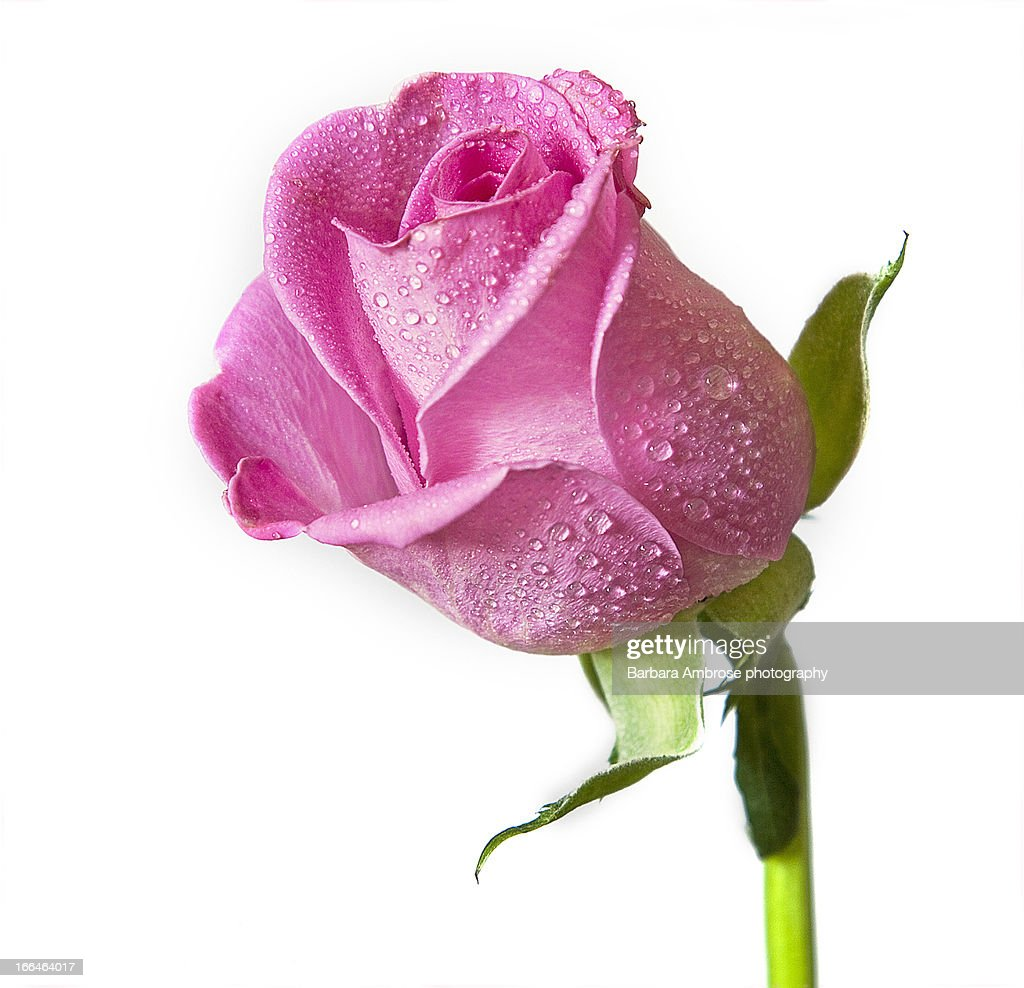mothers day rose