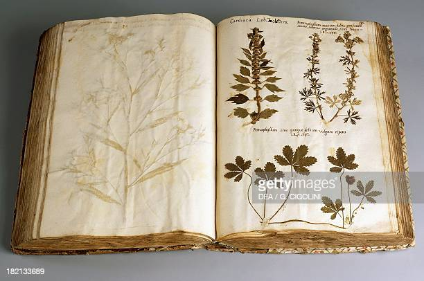 Motherwort and Jiaogulan or TwistingVine Orchid illustration from a preLinnaean herbarium 1600 Milan Museo Civico Di Storia Naturale