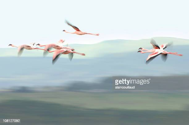Motion Blur of Flamingos in Flight Outside