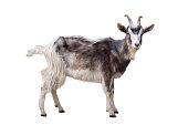 Motley goat isolated on white background