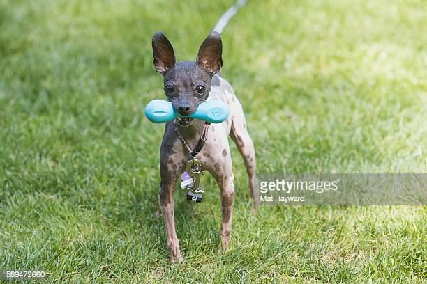 Motley Zoo rescue dog protects his bone with intensity during the 1077 The End Summer Camp Music Festival at Marymoor Park on August 13 2016 in...