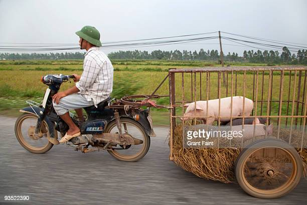 motor scooters pulling trailer with pigs