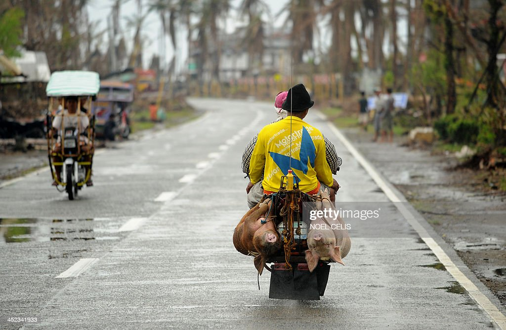 Motorists carry pigs tied on a motorcycle in Palo, Leyte province on November 28, 2013. The Philippines' economy expanded 7.0 percent year-on-year in the third quarter, but a series of storms curbed growth and a devastating typhoon this month will slow momentum further, the government said on November 28.