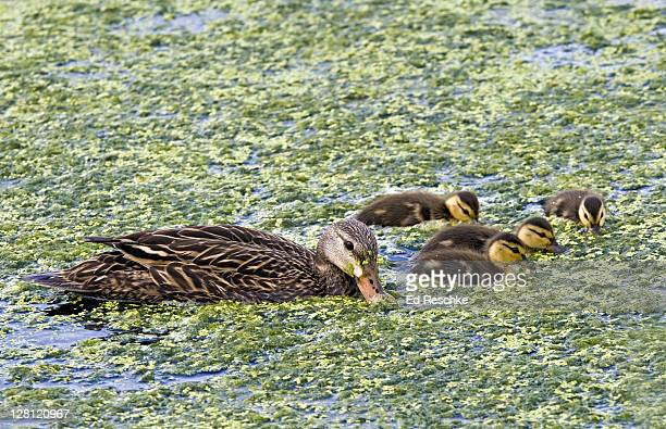 Mottled Duck, mother and ducklings, Anas fulvigula. Common year-round in coastal marshes. Green Cay Wetland, Delray Beach, Florida.