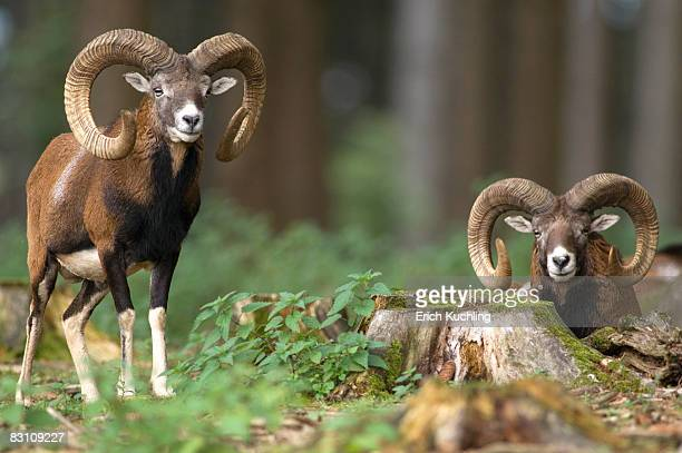Two mouflons in forest