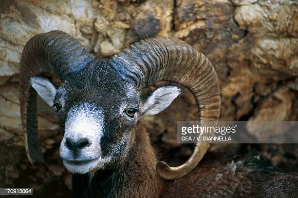Mouflon National Park of the Casentino Forest Monte Falterona and Campigna Tuscany and EmiliaRomagna Italy