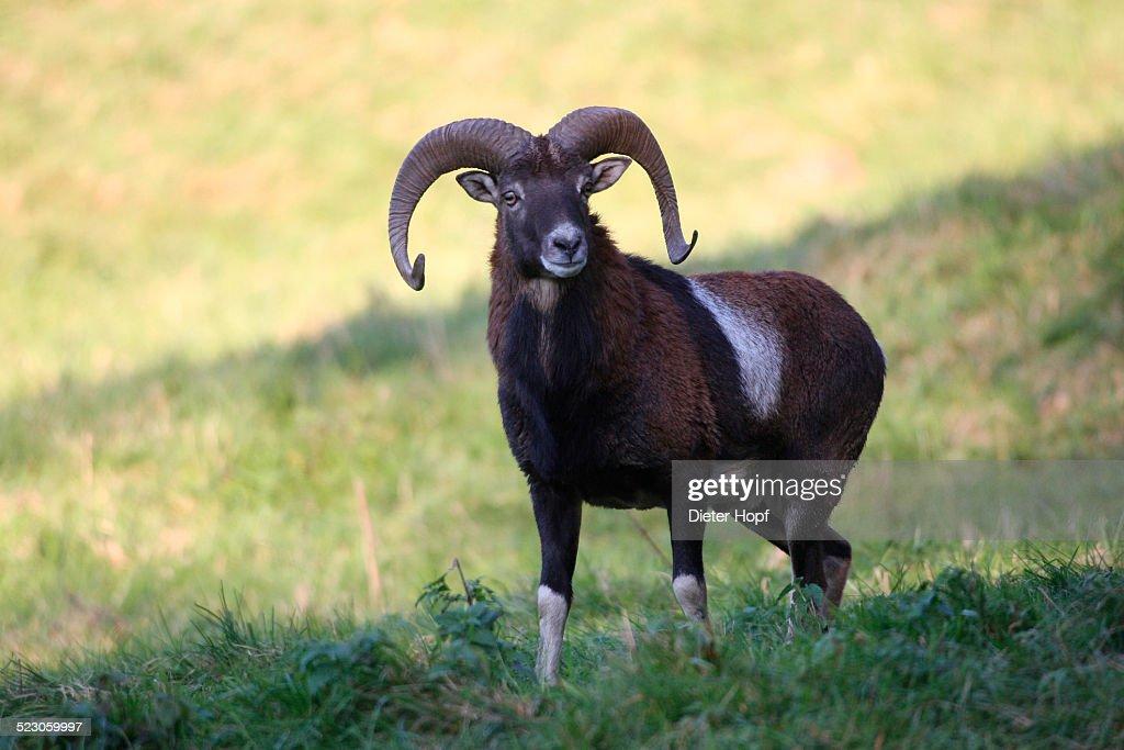 Mouflon -Ovis orientalis musimon-, Unterallgaeu, Allgaeu, Bavaria, Germany, Europe
