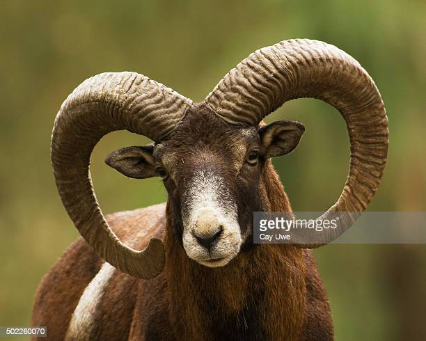 Mouflon Ram Close Up
