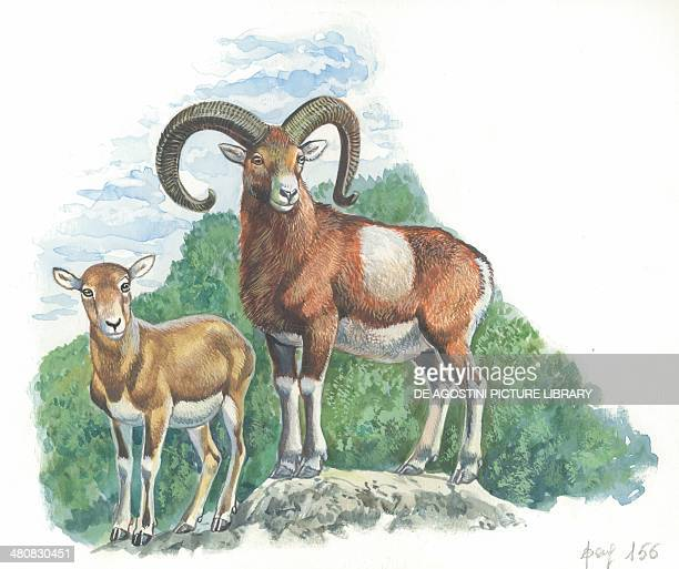 Mouflon with young illustration