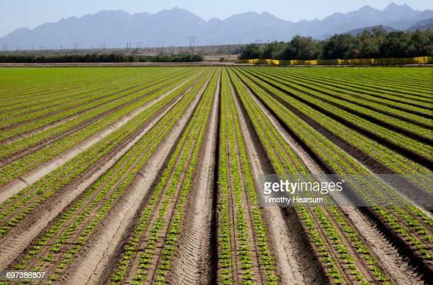 Mounded rows of young lettuce plants