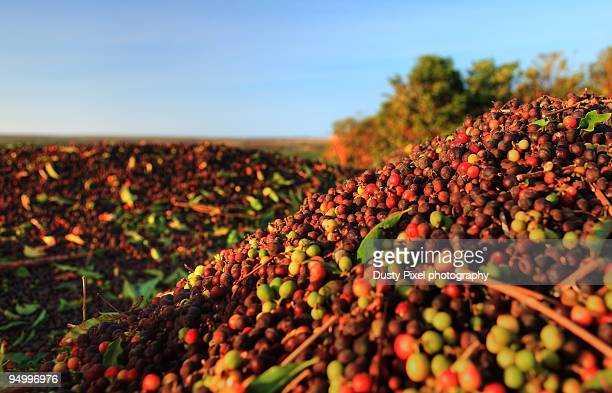 Mounds of Freshly Picked Coffee Cherries