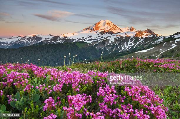 Mount Baker wildflowers, North Cascades