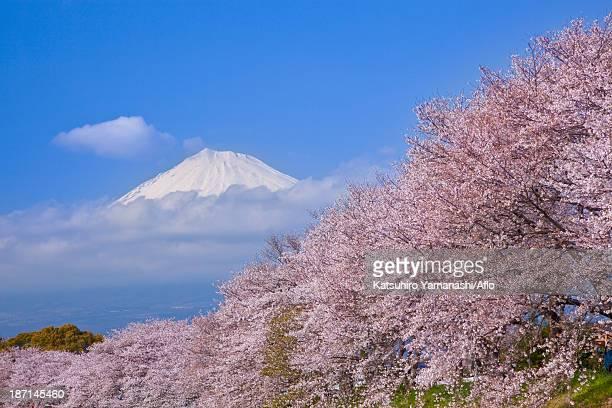 Mount Fuji and cherry blossoms, Shizuoka Prefecture