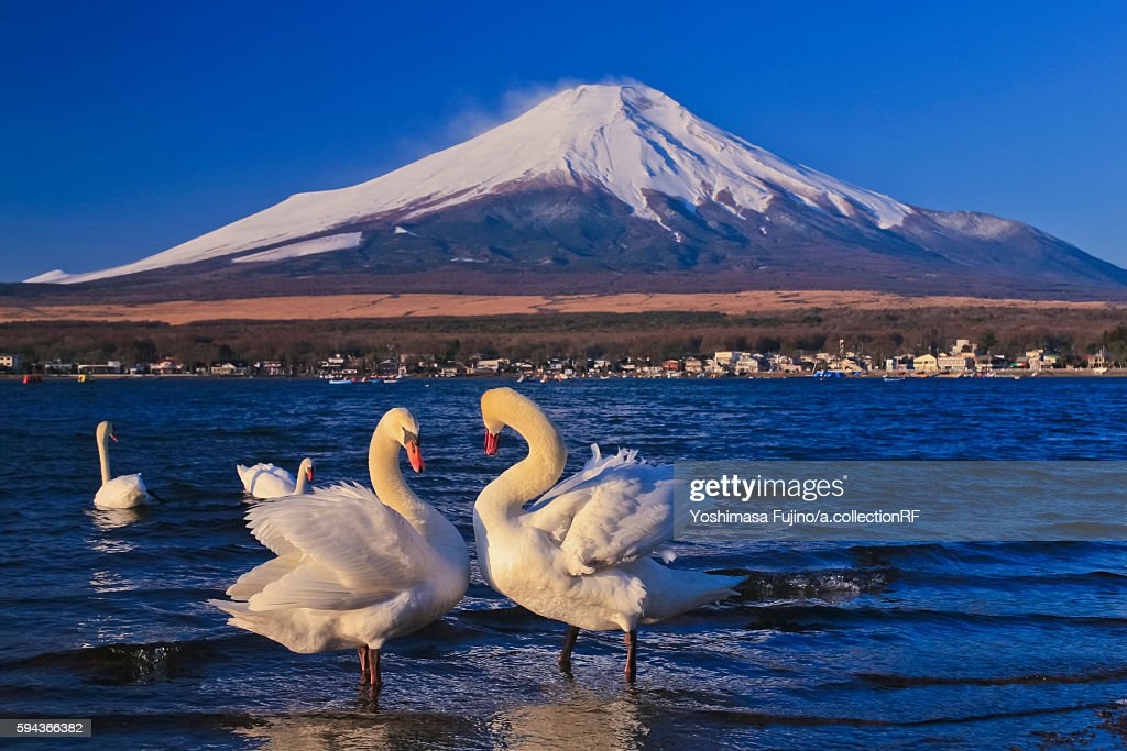 Mount Fuji, seen from Yamana Lake, with swans in forefront