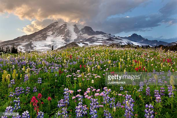 Mount Rainier Wildflower Sunset