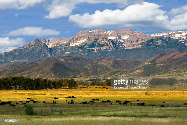 Mount Timpanogos in the Wasatch Mountains towers over farm lands in Heber Valley Utah with cows grazing in the foreground