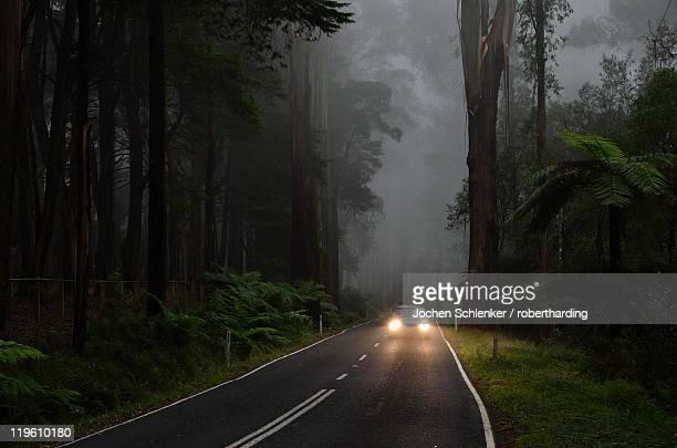 Mountain Ash forest in fog, Dandenong Ranges National Park, Dandenong Ranges, Victoria, Australia, Pacific