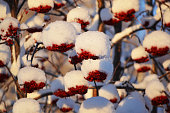 Mountain Ash red berries covered with snow in Fairbanks Alaska