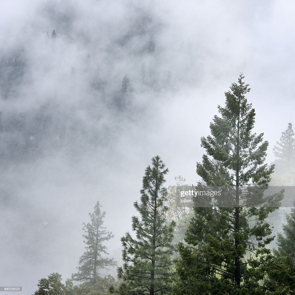 Mountain Ash trees in fog at Mariposa Grove : Stock Photo