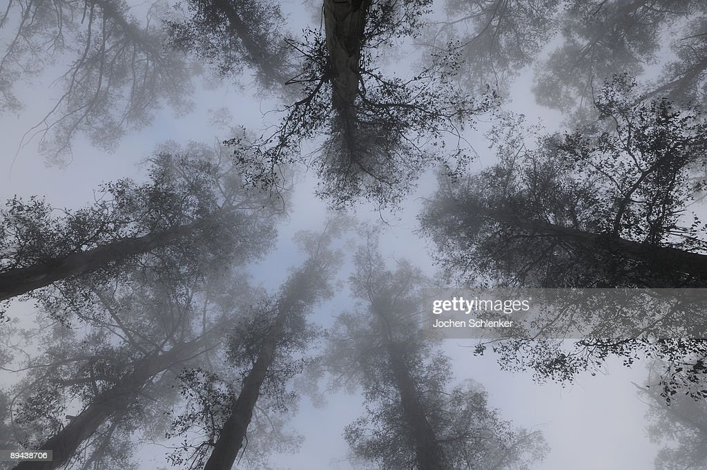 Mountain Ash trees in fog : Stock Photo