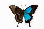 Mountain Blue Swallowtail Butterfly Papilio ulysse