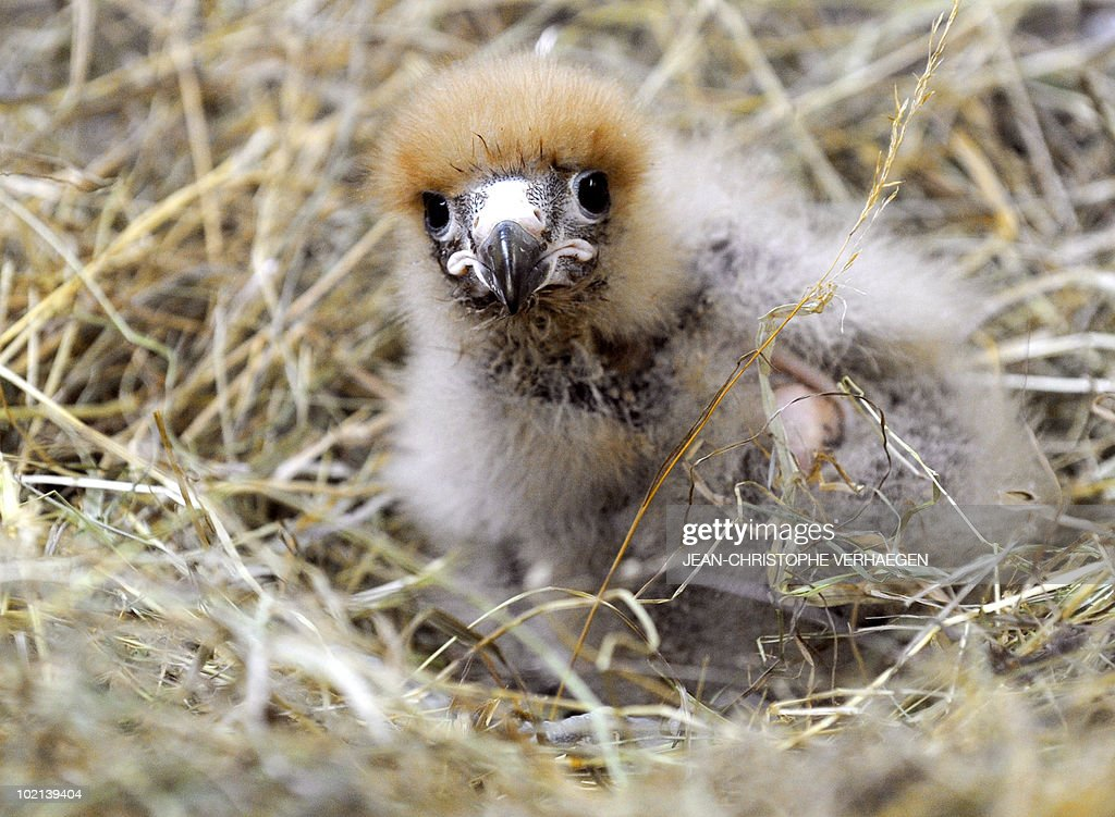A Mountain Caracara chick, a big falcon of South America, sits in a nest at the Amneville zoo, eastern France, on June 04, 2010. This species reproduced in France for the first time in captivity.