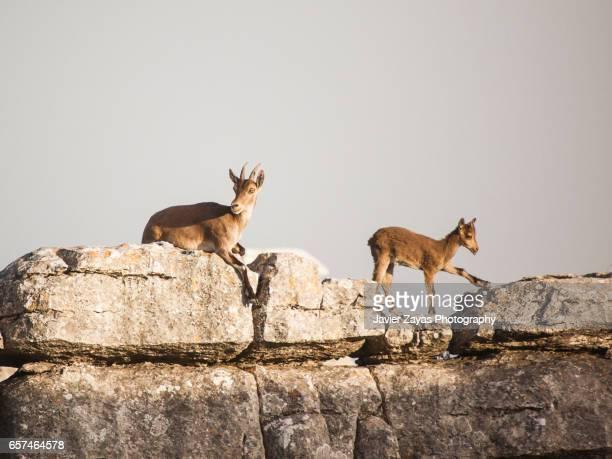 Mountain goat and goatling (Capra pyrenaica)