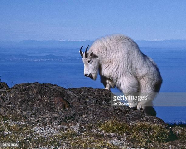 Mountain Goat Climbing on Rock