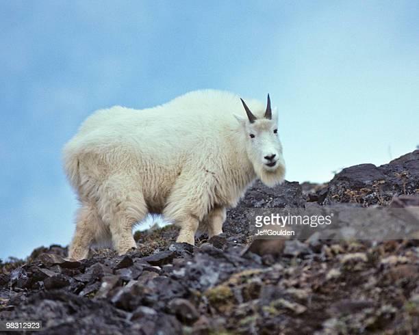 Chèvre de montagne l'escalade sur roches