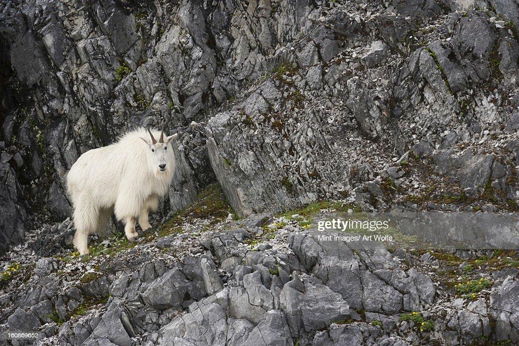 Mountain Goat, Glacier Bay National Park and Preserve, Alaska, USA : Stock Photo