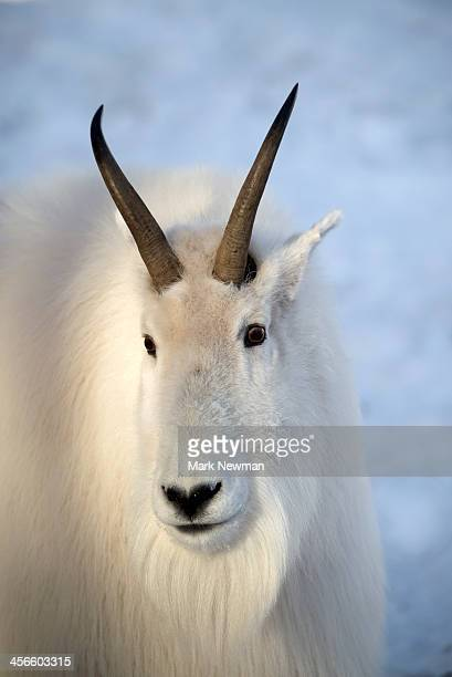 Mountain Goat in snow ( oreamnos americanus)