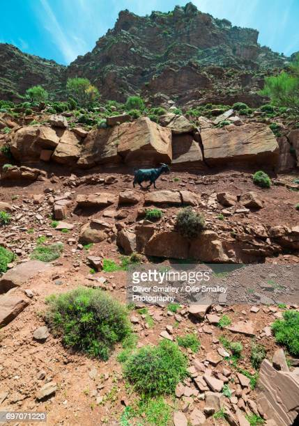 Mountain Goat in the Foothills of the High Atlas Mountains - Oukaimeden, Morocco.