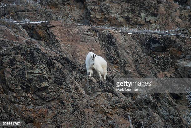Mountain Goat in winter
