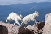 Two mountain goat kids try out their jumping skill on Mount Evans, Colorado